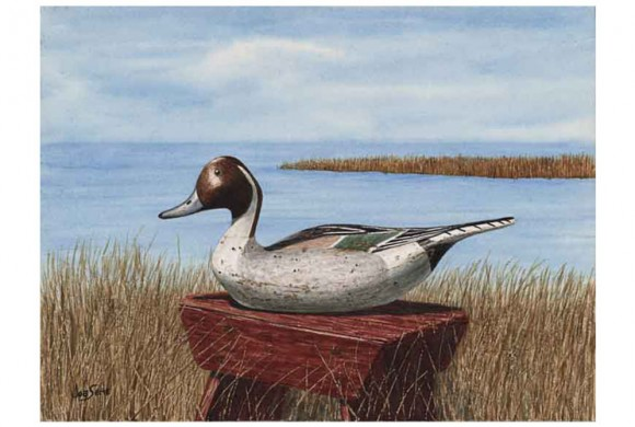 My Ward Pintail